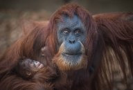 Sumatran orangutan mum Emma with one day old infant at Chester Zoo 14