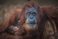 Sumatran orangutan mum Emma with one day old infant at Chester Zoo 14