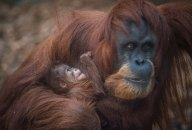 Sumatran orangutan mum Emma with one day old infant at Chester Zoo 16