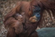 Sumatran orangutan mum Emma with one day old infant at Chester Zoo 17