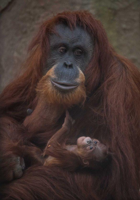 Sumatran orangutan mum Emma with one day old infant at Chester Zoo 2