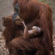 Sumatran orangutan mum Emma with one day old infant at Chester Zoo 4