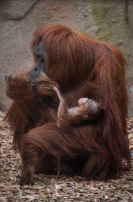 Sumatran orangutan mum Emma with one day old infant at Chester Zoo 4