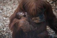 Sumatran orangutan mum Emma with one day old infant at Chester Zoo 9