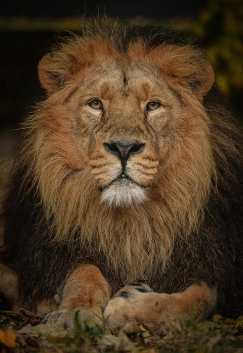 Asiatic lion Iblis at Chester Zoo which has been named England's top visitor attraction outside of London in a new report (1)
