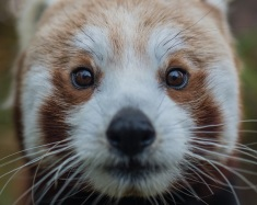 Red panda Nima at Chester Zoo which has been named England's top visitor attraction outside of London in a new report (2)
