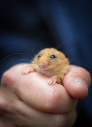 Wild Worlds at Chester Zoo will feature a Hazel Dormouse Garden revealing the secretive lives of these rare and sleepy rodents_3_small