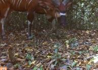 Bongo in Semuliki National Park