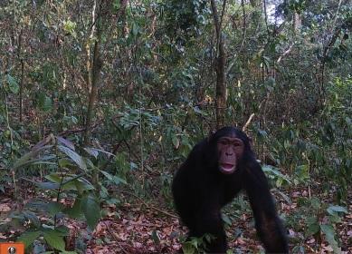 Chimpanzee in Semuliki National Park