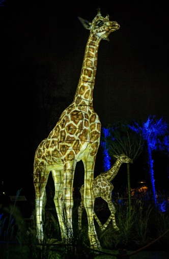 First peek_The Lanterns 2018 at Chester Zoo (14)