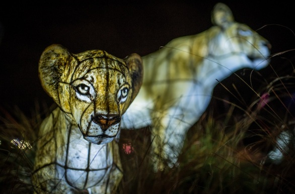 First peek_The Lanterns 2018 at Chester Zoo (16)