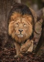 asiatic lions at chester zoo will be moving into a new state-of-the-art habitat later this year (3)