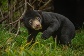 The UK's first sun bear, Kyra, was one of a whole host of rare and endangered animals born at Chester Zoo during 2018