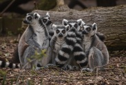 ring-tailed lemurs will be part of a new madagascar habitat opening at chester zoo this easter (8)
