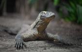 Komodo dragon females have done away with the need for males