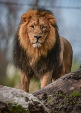 Asiatic lions at Chester Zoo are set to move to an expansive new home later this year (4)
