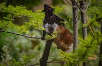Chester Zoo puts its success down to new innovative habitats like its brand new Madagascan lemur walkthrough exhibit (2)